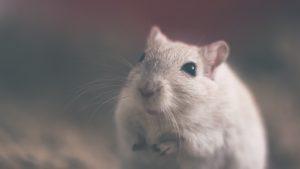 présence de rats dans la maison