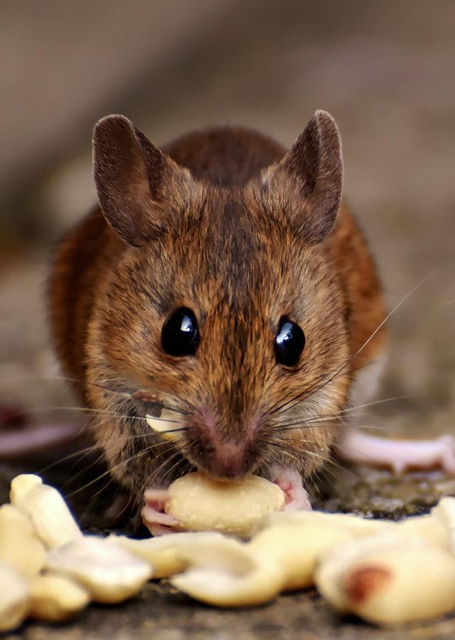 dératiseur : éliminer la présence des rats